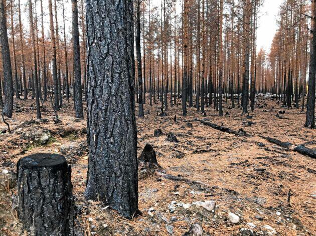 Brandskadad skog utanför Kårböle.