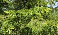 Inte sämre genetisk variation i planterad gran