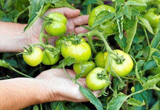 Ge inte upp. Det finns sätt att få de gröna tomaterna att mogna även när det inte går att ha dem ute i växthuset. Foto: Istock.