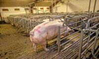 Tapp för dansk grisproduktion