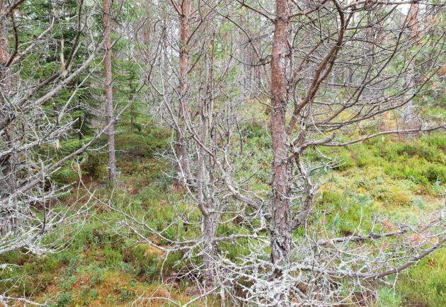 En konstant och hög nivå på betesskadorna tillsammans med en konstant nivå på älgstammen gör att skogsbruket överklagar älgskötselplaner i södra Gästrikland.