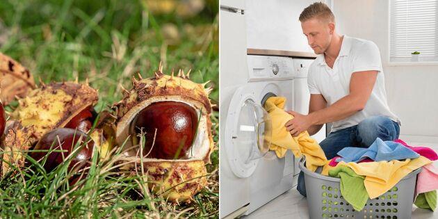 Gör dina egna tvättnötter – av hästkastanjer