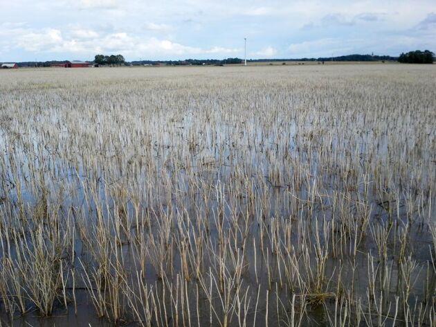Nu har vattnet börja rinna undan lite grann utanför Kvänum. Här syns en blöt rapsåker.
