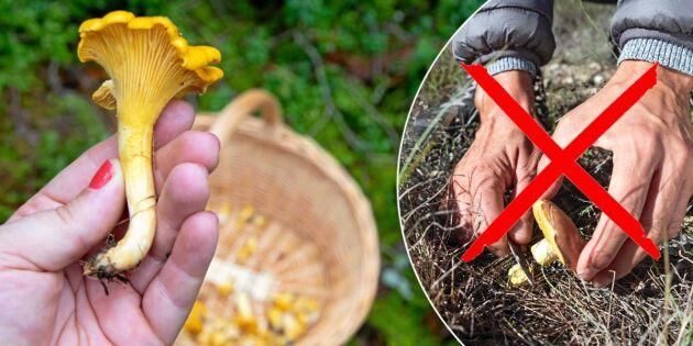 Dra upp svampen eller skära av med kniv? Experten reder ut