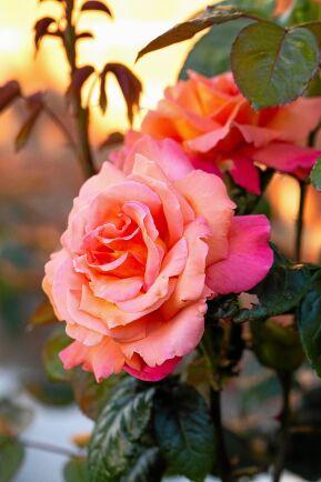 Rosen Kordes 'Aloha' får de mest fantastiska färgskiftningar, från orange, till rödaktigt, aprikos och rosa.