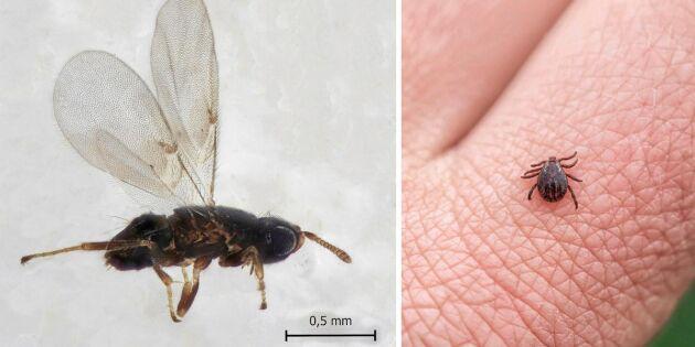 Ny upptäckt - här är parasiten som tar död på fästingar!
