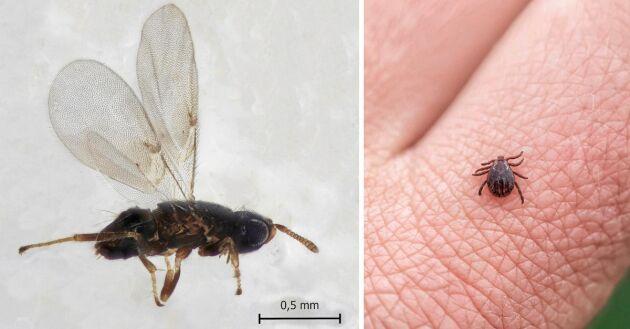Den lilla parasitstekeln är en av fästingens få naturliga fiender, som dödar fästingens larver och nymfer.
