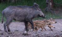 Danmark planerar stängsel mot svinpest
