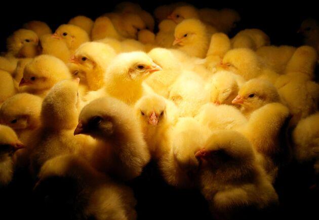 – De riktigt smittsamma varianterna av fågelinfluensan fungerar som en handgranat när de kommer in i en uppfödning, säger professor Jonas Waldenström på Linnéuniversitetet i Kalmar. Han konstaterar också att det nu finns en förhöjd risk för en epidemi även i Sverige då den fruktade sjudomen nu brutit ut i Italien.