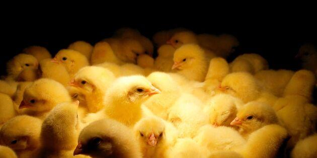 Nytt utbrott av fågelinfluensa – ökar risk för svensk epidemi