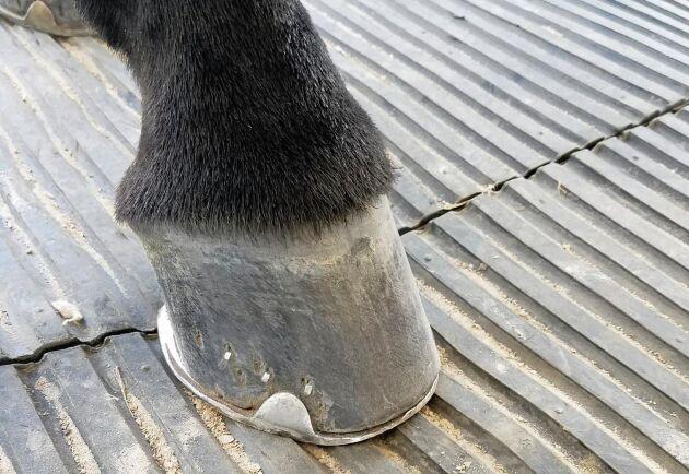Många hästar lider av distala hältor från nedre delen av benet. Björn Berg vill med sin forskning få fram resultat som kan hjälpa yrkesverksamma hovslagare att bedöma när man behöver ingripa och i vilken omfattning.
