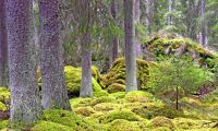 Ny granskning kritiserar skydd av skogen