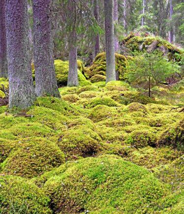 Riksrevisionen anser att staten kan effektivisera arbetet med att skydda och sköta skog med höga naturvärden.
