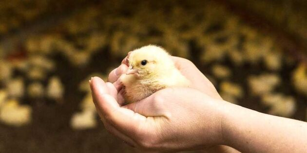 Bakom kulisserna på en småländsk kycklinggård – följ med in!