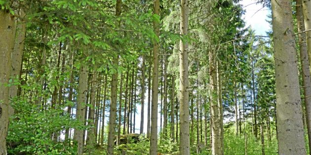 Två skogsbruksplaner – helt olika virkesvolym
