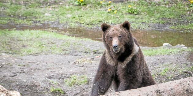 Rumäniens björnar en turistmagnet