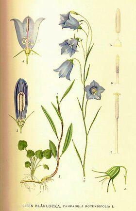 Den lilla klockan i detalj. Här syns blommornas uppbyggnad och den lilla kvast av blad som klockan skickar upp först.