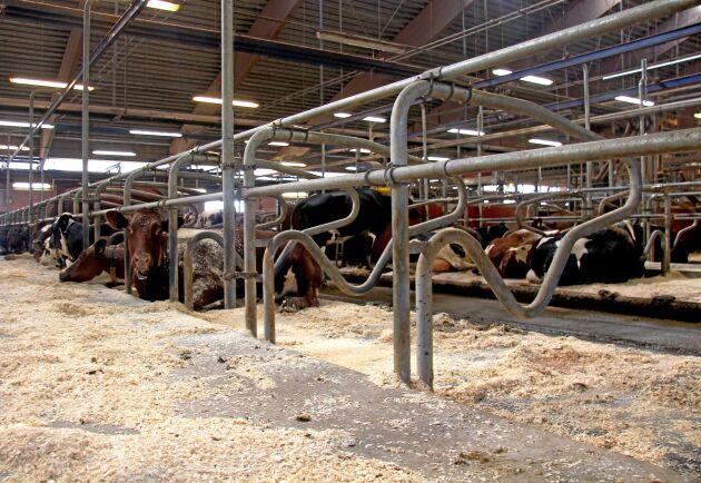 Korna är uppdelade i fyra grupper med cirka 60 kor i vardera.