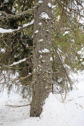 Mycket stor hänsyn tas vid blädning. Lågor på marken undviker förarna att köra över och gamla naturvärdesträd sparas.