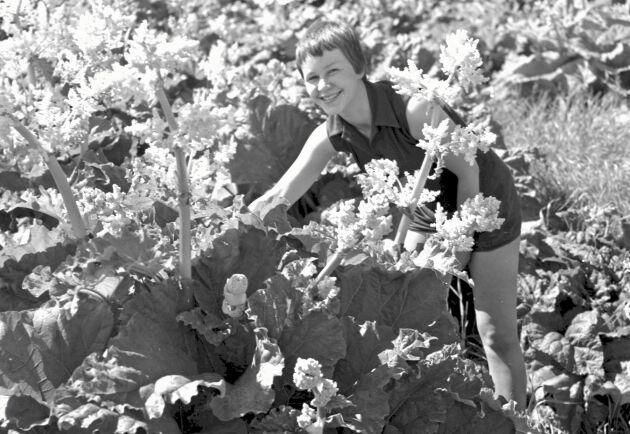Rabarberodling på Statens Järnvägars trädgård i Korva i Övertorneå 1960. Foto: Walther Seved.
