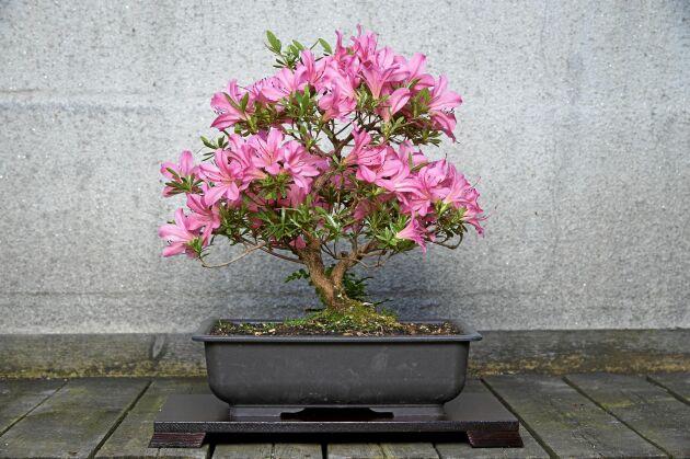 En bonsai på en azalea (japansk azalea). Lägg märkte till att blommorna har naturlig storlek medan bladen formar sig efter miniatyrträdets storlek.