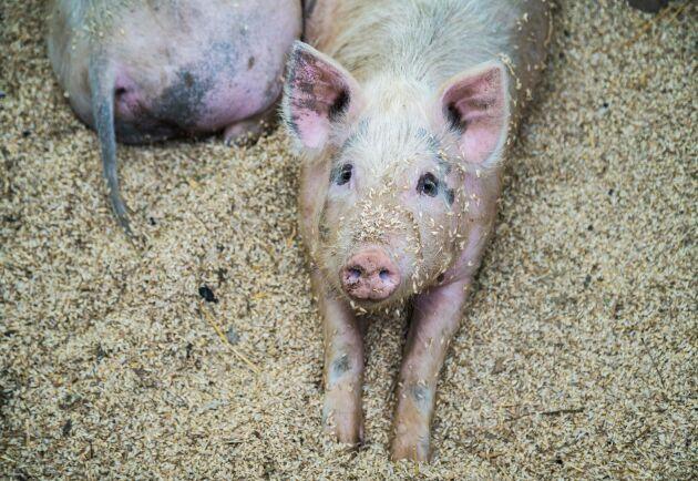 Grisbeståndet i Kina beräknas totalt minska med uppemot 200 miljoner grisar i år, på grund av svinpesten.