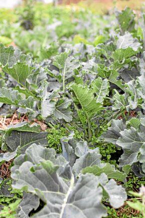 Strandkål (Crambe maritima) Unga blad har lätt hasselnötsliknande smak och används som spenat, skotten som sparris, även goda färska. Små blomknoppar och honungsdoftande blomning passande i sallad. Rötterna kan vinterlagras och de äldre bladen användas som vanlig grönkål. Kan vara lite knepig att etablera men har sen mycket att ge. Föredrar väldränerad jord och gärna näringstillskott av tång, men det går bra med annan näring också. Foto: Anette Brunsell.