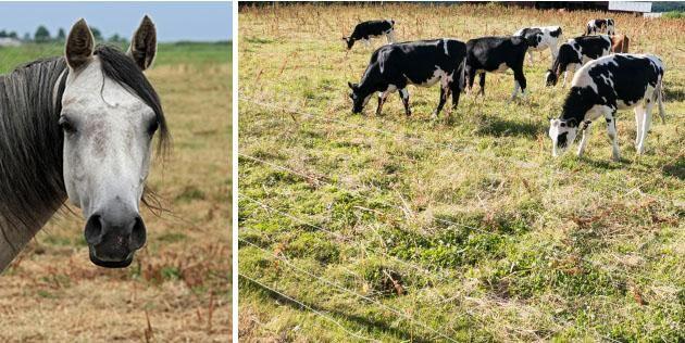 Flera kommuner börjar nu upplåta kommunala marker och grönytor till foder och beten för både hästar och nöt.