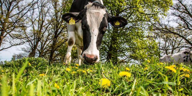 Betande djur gör gräset mer näringsrikt