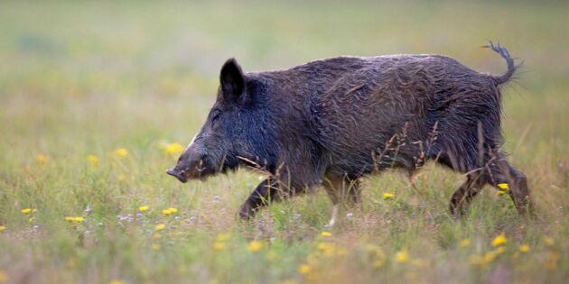 Arrendatorer kräver att vildsvinen utrotas