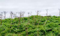 Invasiva arter extra hot i Skåne