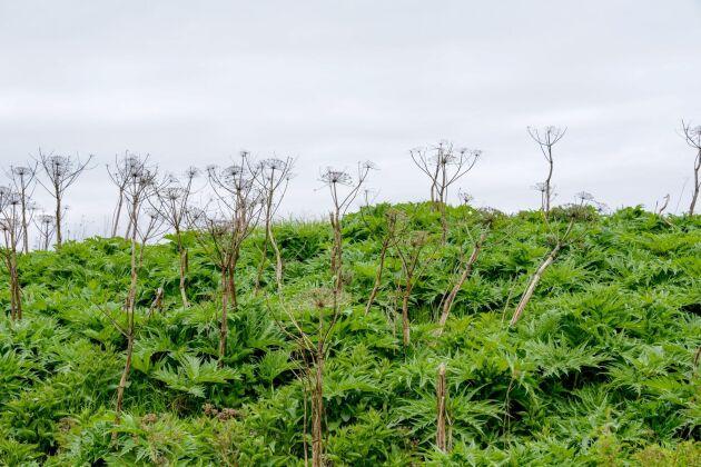 Jätteloka är en av landets invasiva arter.