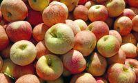 Infekterat äppelbråk på Österlen