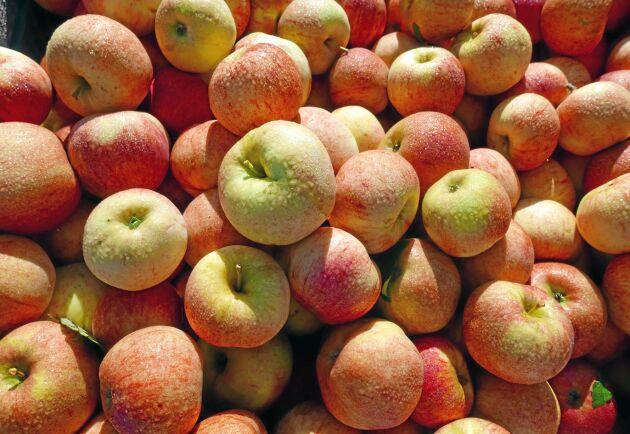 Vad som är bäst, importerade ekologiska eller svenskodlade konventionella, ja det är en fråga som har lett till ett infekterat äppelbråk på Österlen.