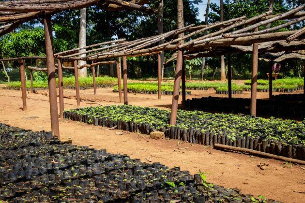 En återplanteringsgård i Uganda. De spröda skotten odlas under tak för att skydda dem mot regn och sol.