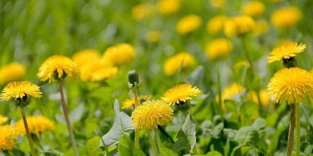 Förbanna inte ogräset – ät upp det i stället