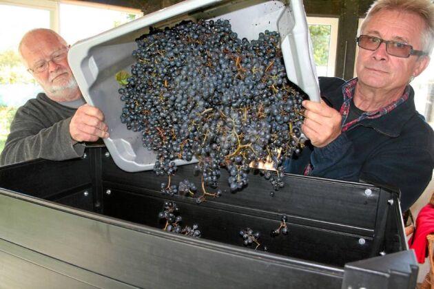 Claes Olsson och Thorsten Persson häller årets första druvor i krossen där druvorna avstjälkas och krossas.