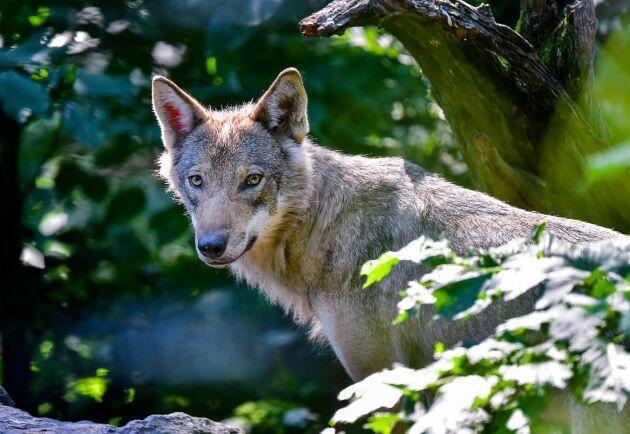 Miljö- och jordbruksutskottet vill göra det enklare att skyddsjaga varg.