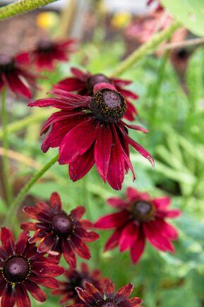 Sommarrudbeckian 'Cherry Brandy' bjuder på stora, körsbärsröda blommor och ett vackert förgrenat växtsätt. Den passar lika bra i rabatten, som i en stor kruka på altanen.