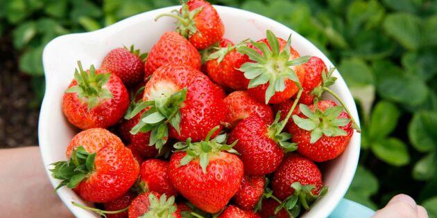 Nu avgörs det - blir det mycket jordgubbar till midsommar
