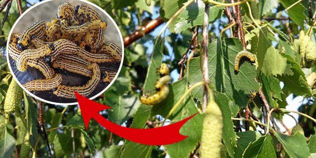 Carinas trädgård kryllar av skräcklarven som dödar träd – och djur