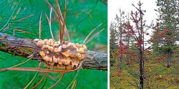 Multiskador på skog ökar i norra Sverige