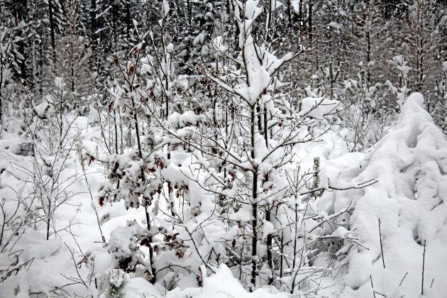 Grupper av ek på 7–8 meters förband i ett av de många hägnen. Slutmålet är en ek på var 15:e meter om 60-80 år.