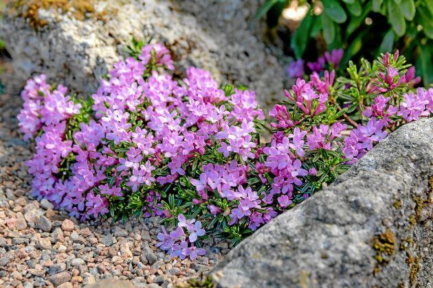 Dvärgtibast, 'Daphne arbuscula' ('Dwarf Form'), blir bara 5 cm hög.