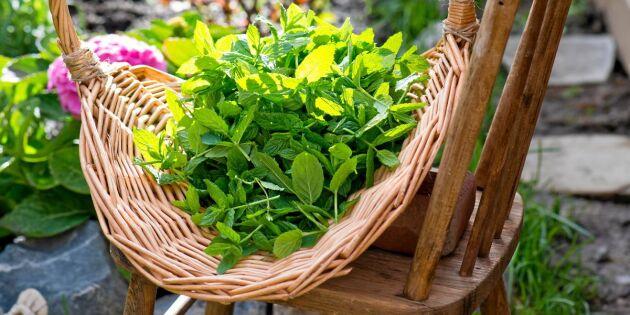 Så odlar du ditt eget trädgårdsapotek – 6 kraftfulla läkeväxter