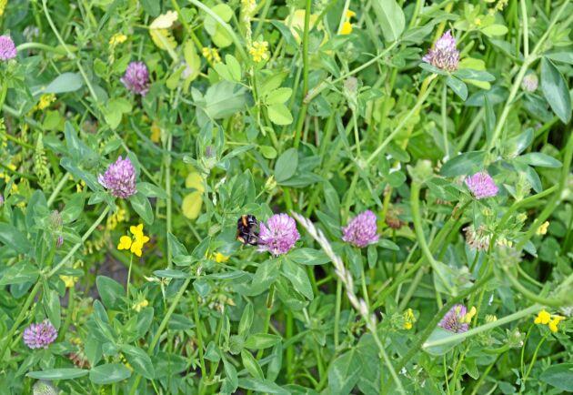 Regeringen vill gynna humlor och andra pollinerande insekter.