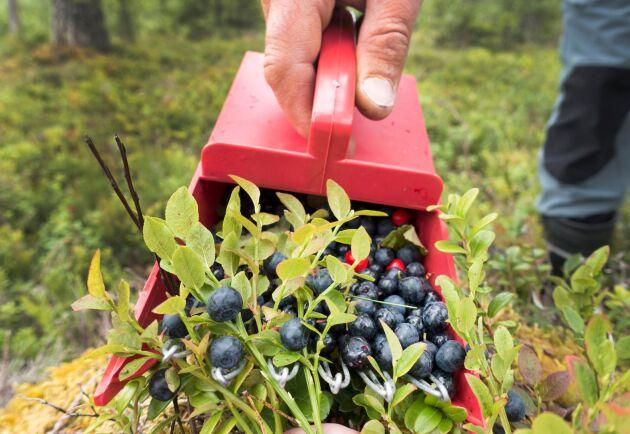 Många utländska bärplockare väntas jobba i de svenska skogarna i sommar. Arkivbild.