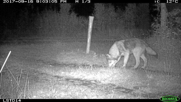 Under oktober fångades bilder på en mörk och en normalfärgad hybrid mellan varg och hund i Bietrakten utanför Katrineholm.