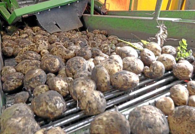 Potatisen agerar ofta lockvara kring midsommar.