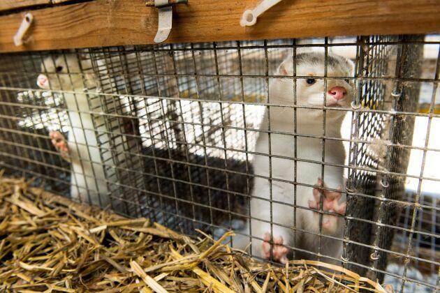 Aktivisten står åtalad bland annat för händelser i samband med en aktion mot en minkgård.